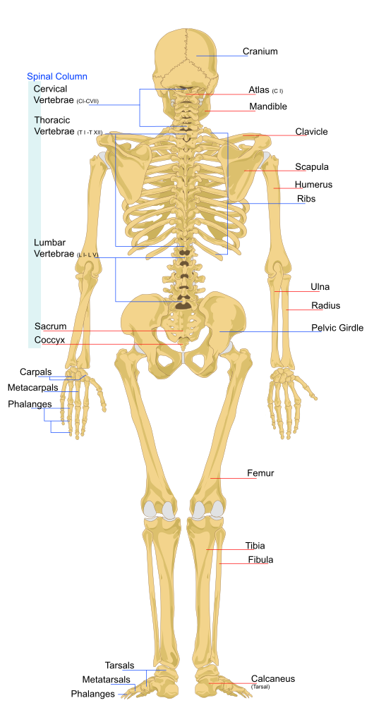Rear view of an adult human skeleton biology the stuff of life rear view of an adult human skeleton ccuart Image collections