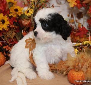 Available Cavachon Puppies Foxglove Farm Cavachon Puppies Cavapoo Puppies Cavachon