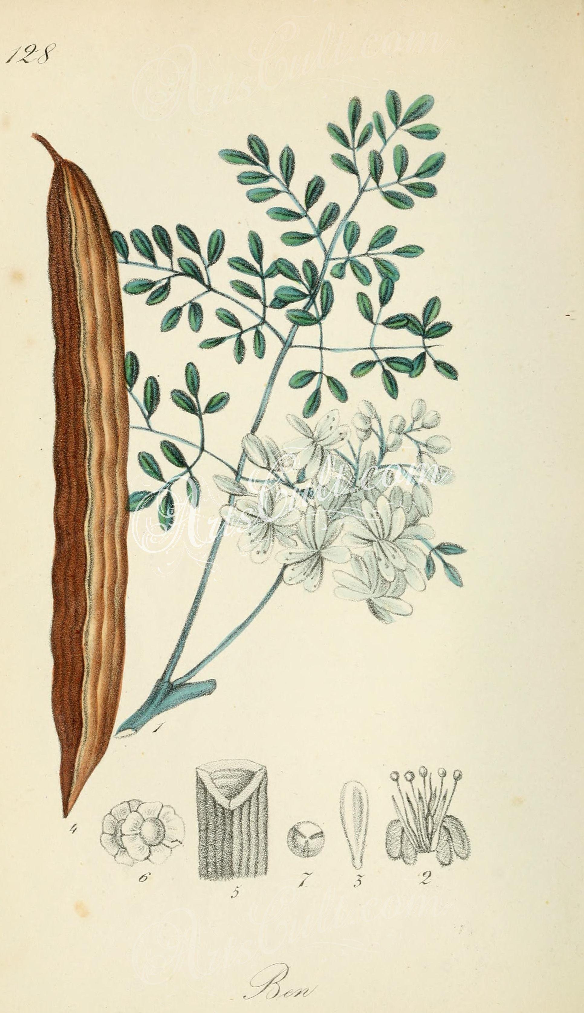 guilandina moringa ... | Flowers | Pinterest | Botánica, Flora y ...