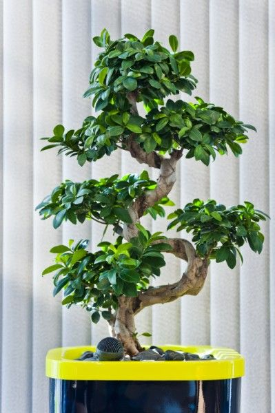 Ficus Ginseng S Shape In Corporate Coloured Pot Ficus Ginseng