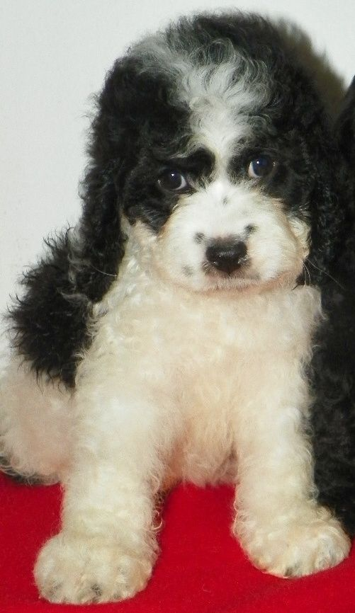 Angel Female, Black and White Cockapoo Crazy for