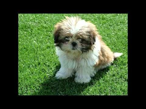 How To House Train Your Shih Tzu Puppy Youtube