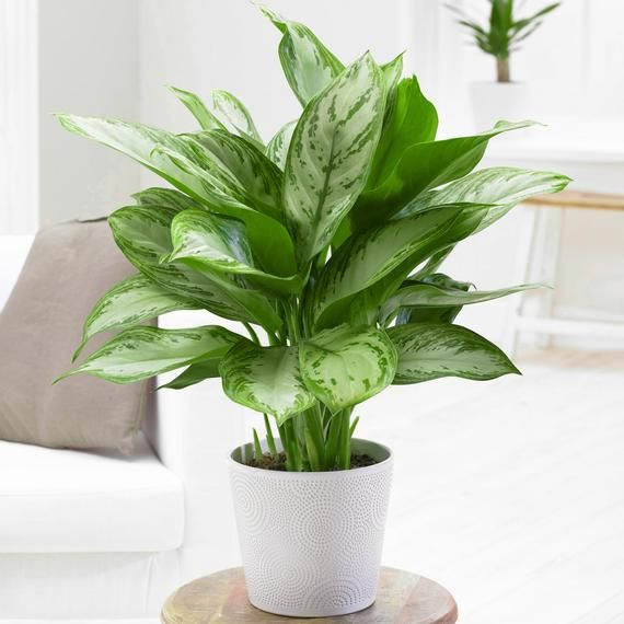• GORGEOUS, MINT GREEN LEAVES – The mint green colour is the main base colour of the Aglaonema Maria Christina. It is joined by a sporadic lot of dark green features that really finish off the fresh overall look.• IDEAL PLANT FOR BEGINNERS - Due to the lack of fuss involved in the care process, and the visual appeal that this plant has, there is plenty of reasons why the Aglaonema Maria Christina is the perfect choice for any beginner plant lover.• GORGEOUS PLANT THAT PURIFIES THE AIR - Any harm
