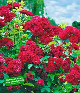 BALDUR-Garten Rambler-Rosen \'Chevy Chase\', 1 Pflanze #red ...
