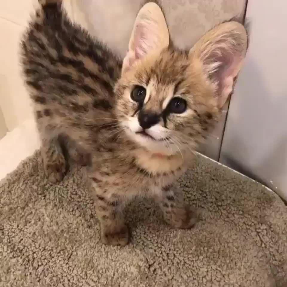 Serval Kittens Cute Baby Animals Cute Animals Serval Kitten
