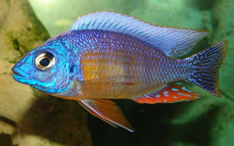 Male Protomelas Sp Steveni Taiwan Or Taiwan Reef