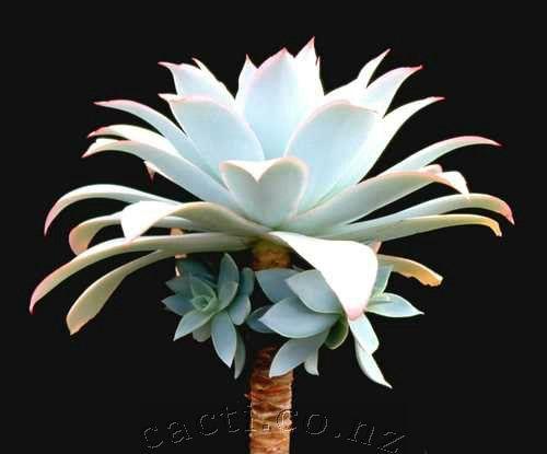 Echeveria cante - cacti.co.nz