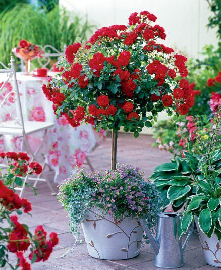 How to grow roses on balcony patio and terrace balconies balcony gardening and patios - Growing petunias pots balconies porches ...
