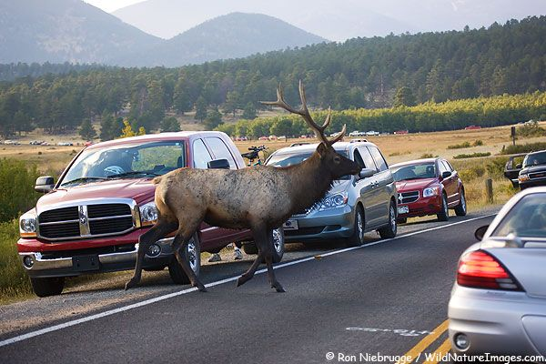 Elk In Rocky Mountain  National State Park