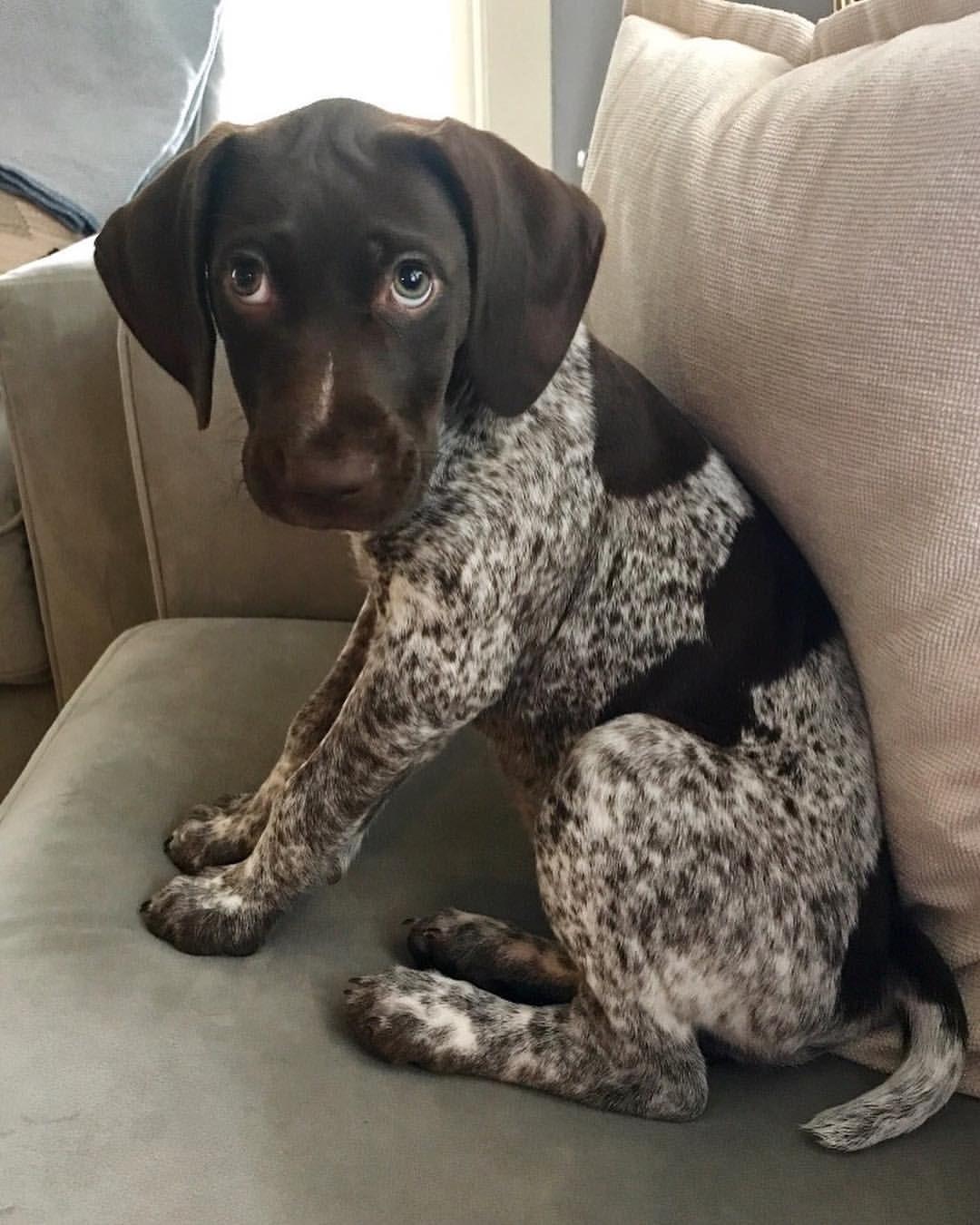 Marlowe the GSP sur Instagram Still working those puppy