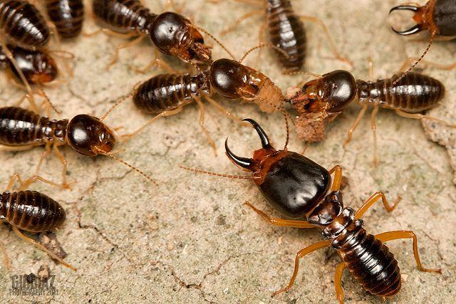 Termites At Night Termites Termite Control Wood Termites