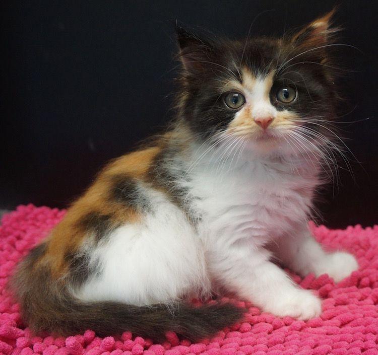 Calico Femal Ragdoll Kittens Calico Kitten Fluffy Kittens