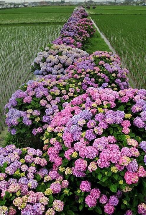 Hortensias Plantadas Em Torno Das Plantacoes De Arroz No Distrito De Shino Miyazaki Japao Beautiful Flowers Garden Hydrangea Garden Heirlooms Flowers