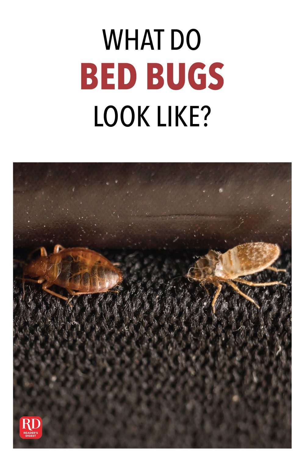 What Do Bed Bugs Look Like? Bed bugs, Bed bugs pictures