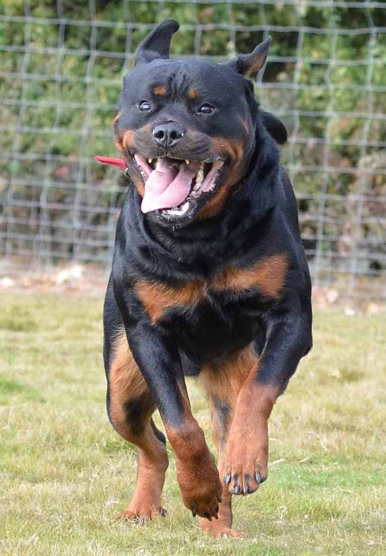 This Smile Is Priceless Rottweiler Beagle Breeders Beagle