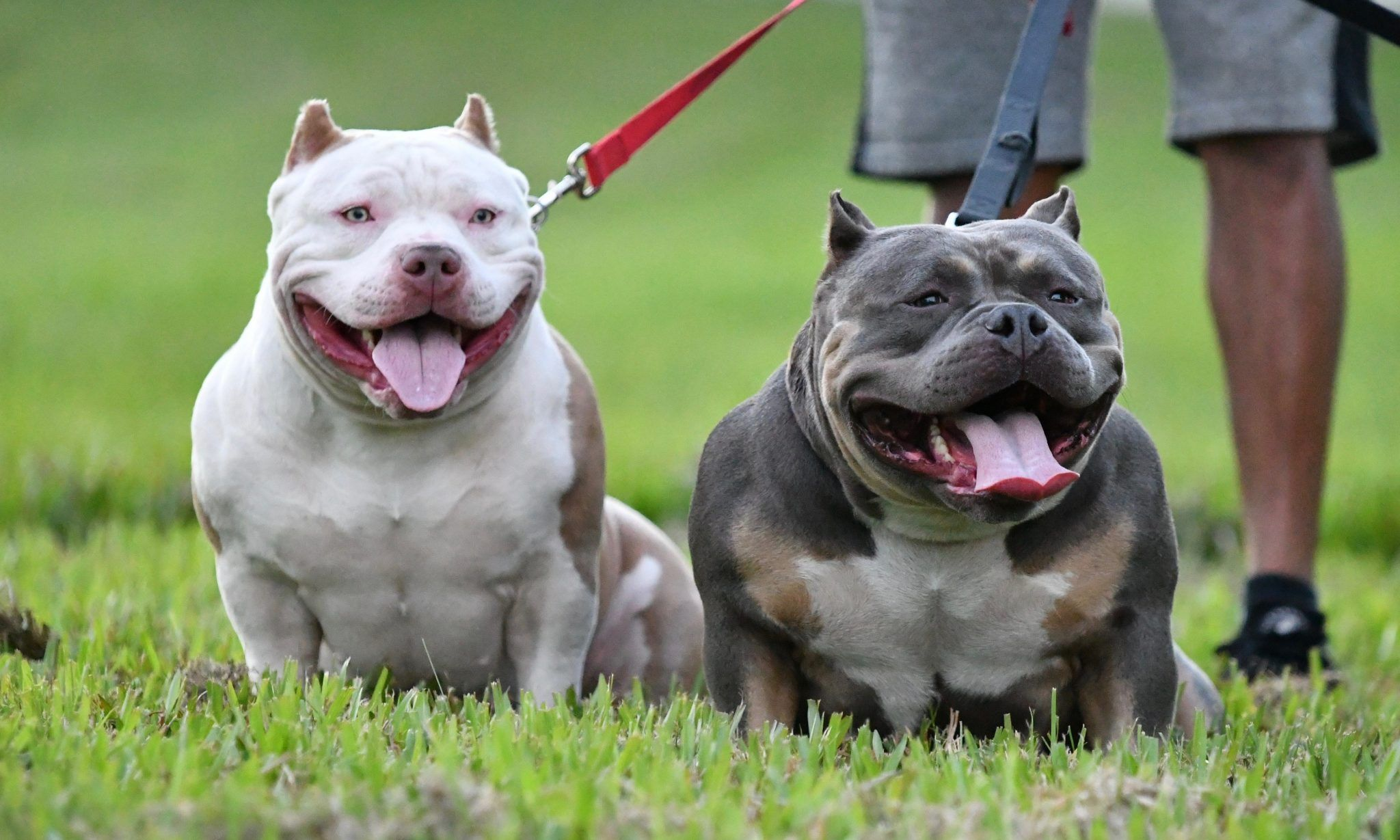 Top American Bully Import Line Pick Of The Week American Bully Showline Puppies For Sale In India Yo American Bully Puppies For Sale American Bully Classic