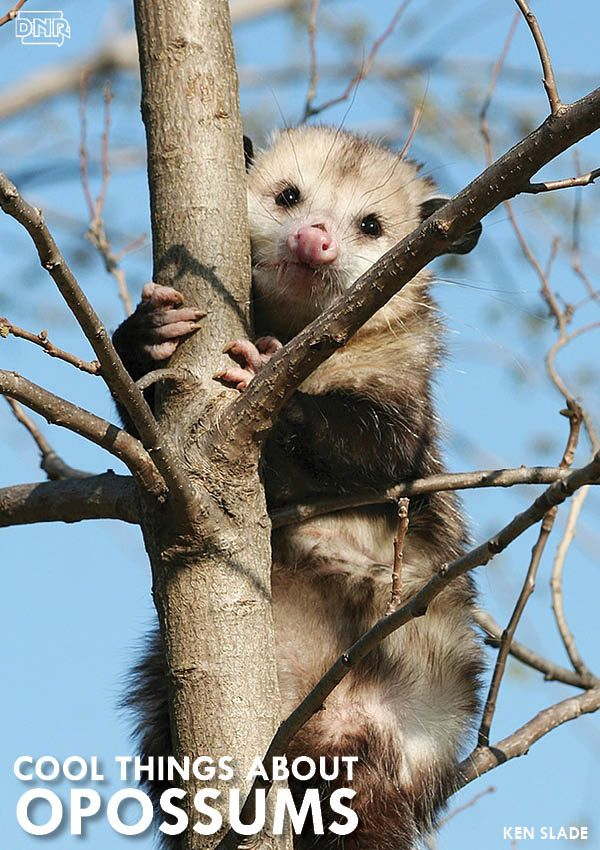 7 Cool Things You Should Know About Opossums | Iowa ...