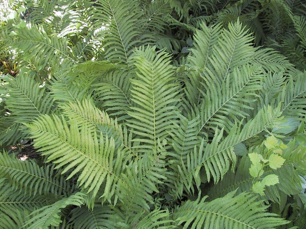 Fern Ostrich Shade tolerant plants, Plants, Shade