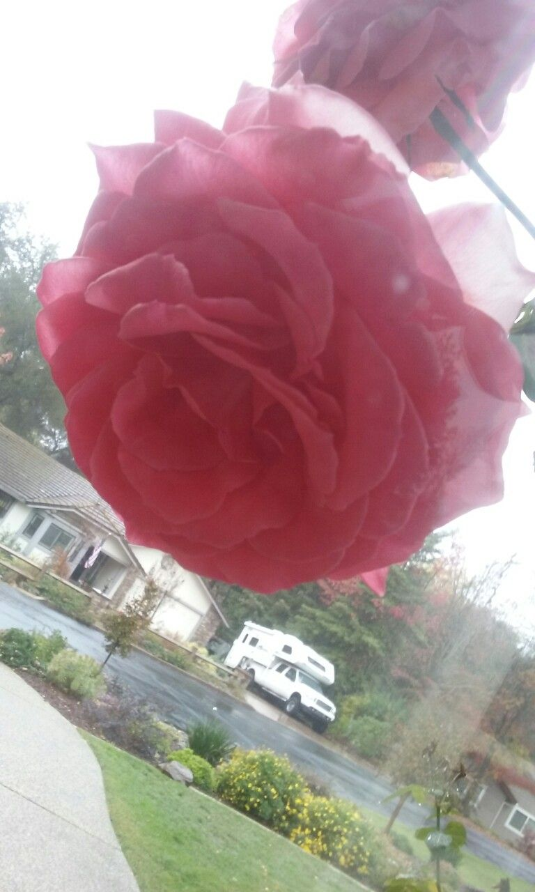 The most beautiful rose I have ever seen and it's winter right now!! 😂😘