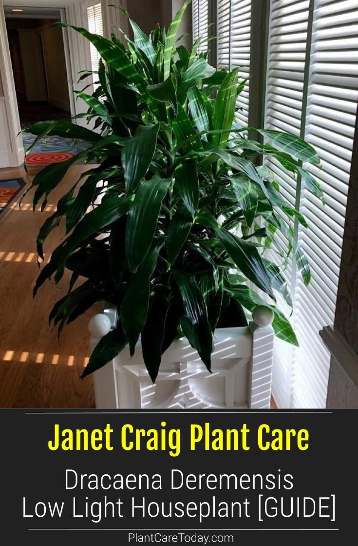 Craig plant dracaena deremensis low light