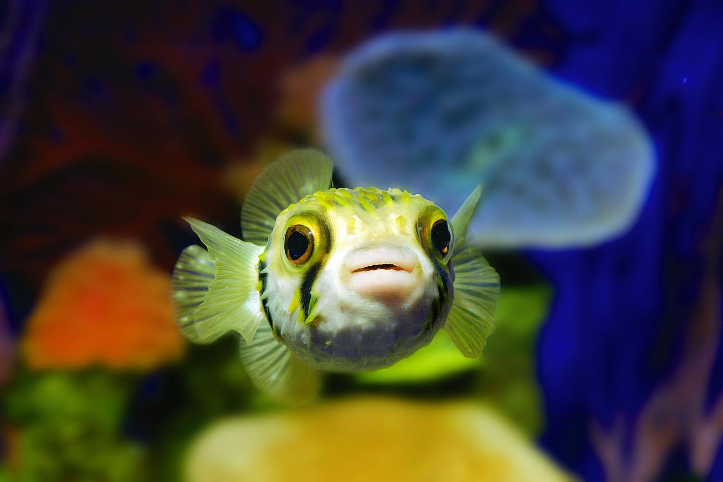 Pez Globo - Palma Aquarium