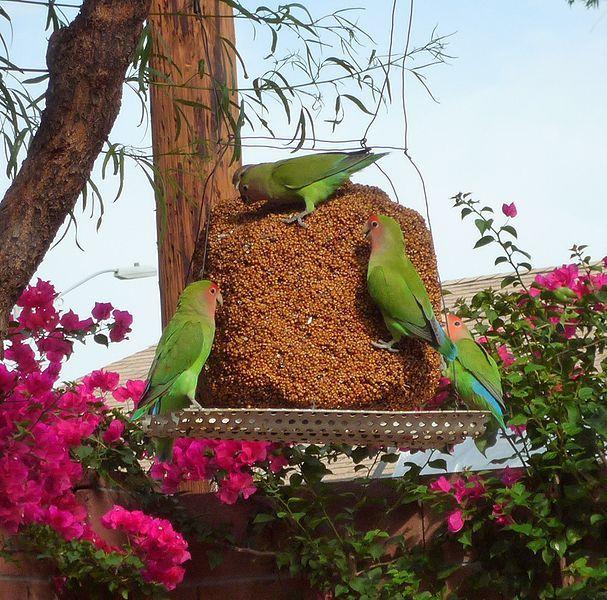 Peach faced love birds ~ enjoying a seed block in a Arizona backyard garden :)