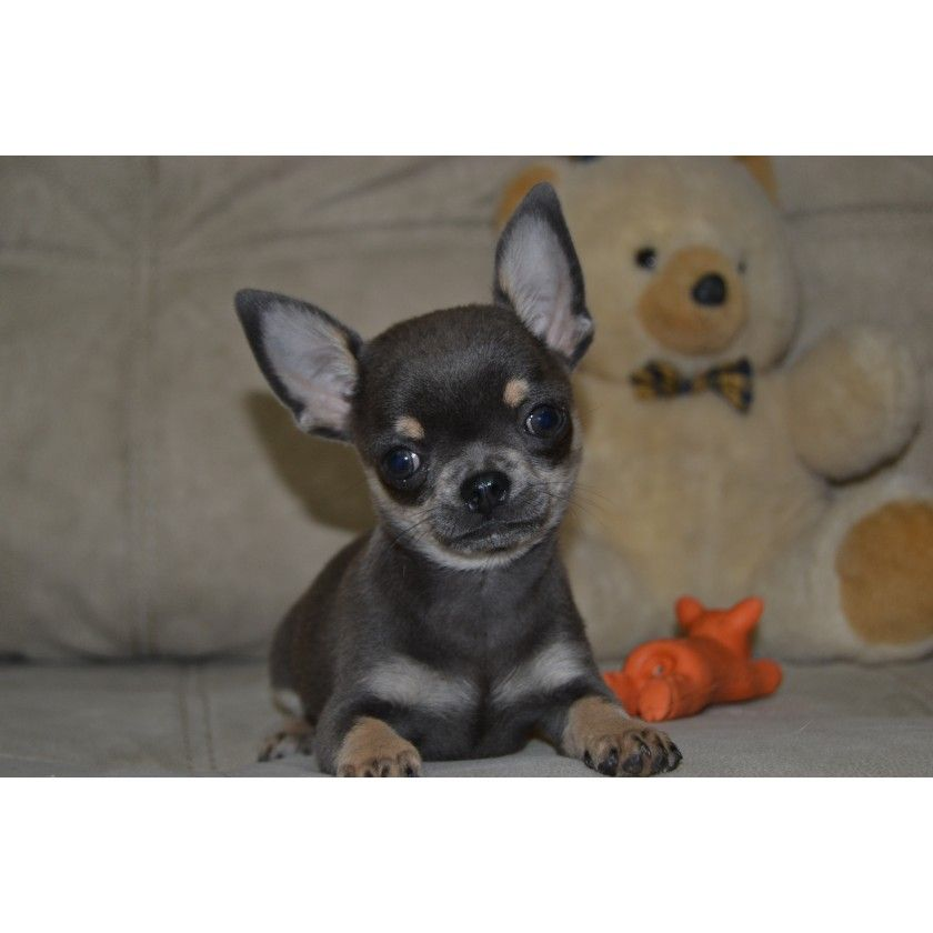 Goluboj Krasavec With Images Baby Dogs Puppies Chihuahua Puppies