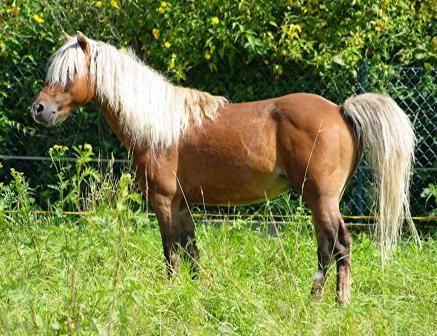 American Shetland Pony   American Classic Shetlands