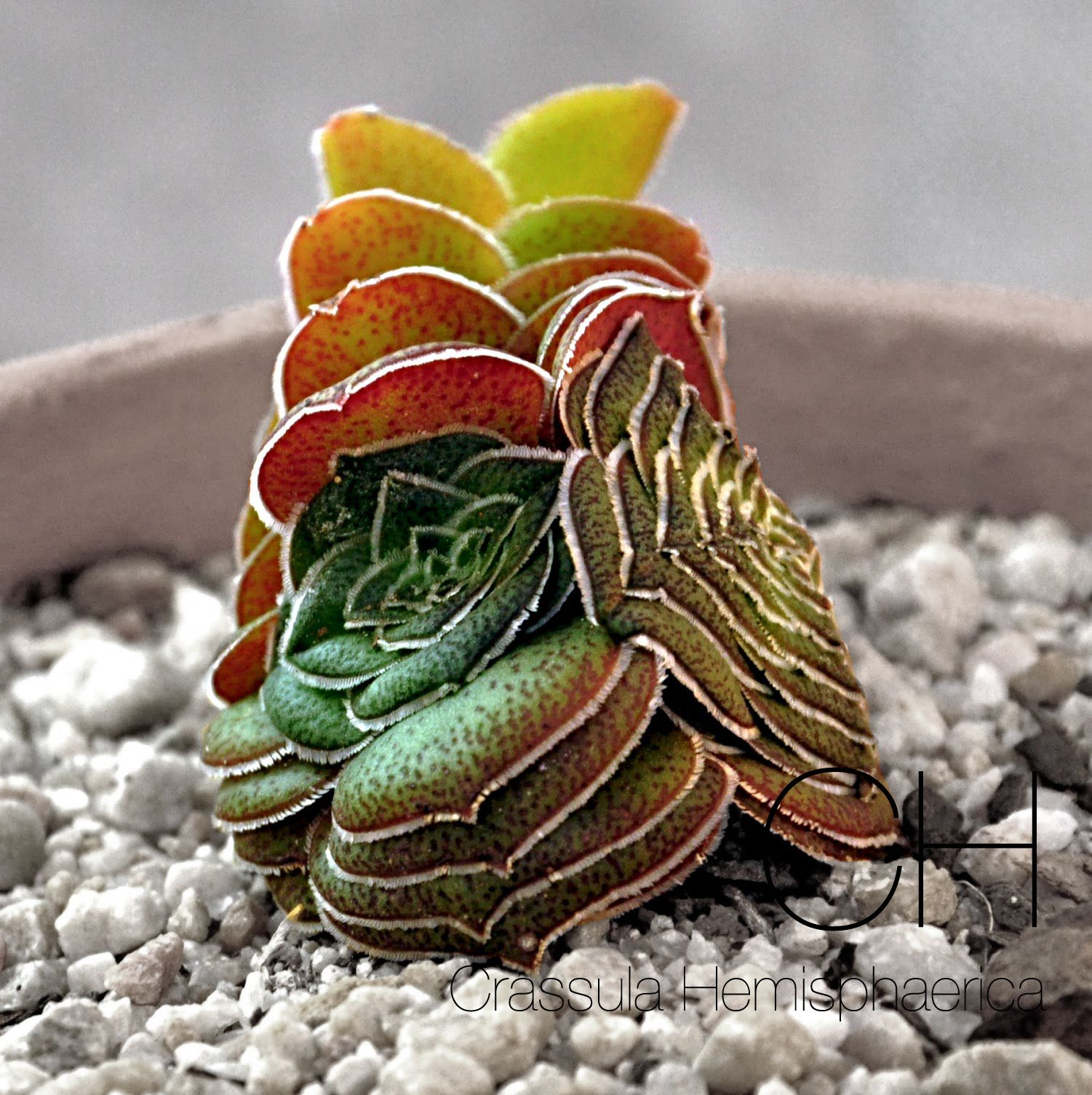 Crassula Hemisphaerica Kaktuse Sukkulenten, Kakteen und sukkulenten und Blumen pflanzen ~ 14014347_Sukkulenten Ableger Pflanzen
