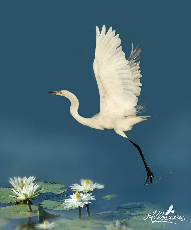 Facebook Little Egret at Pilanesberg National Park Photo by Antoinette Kloppers