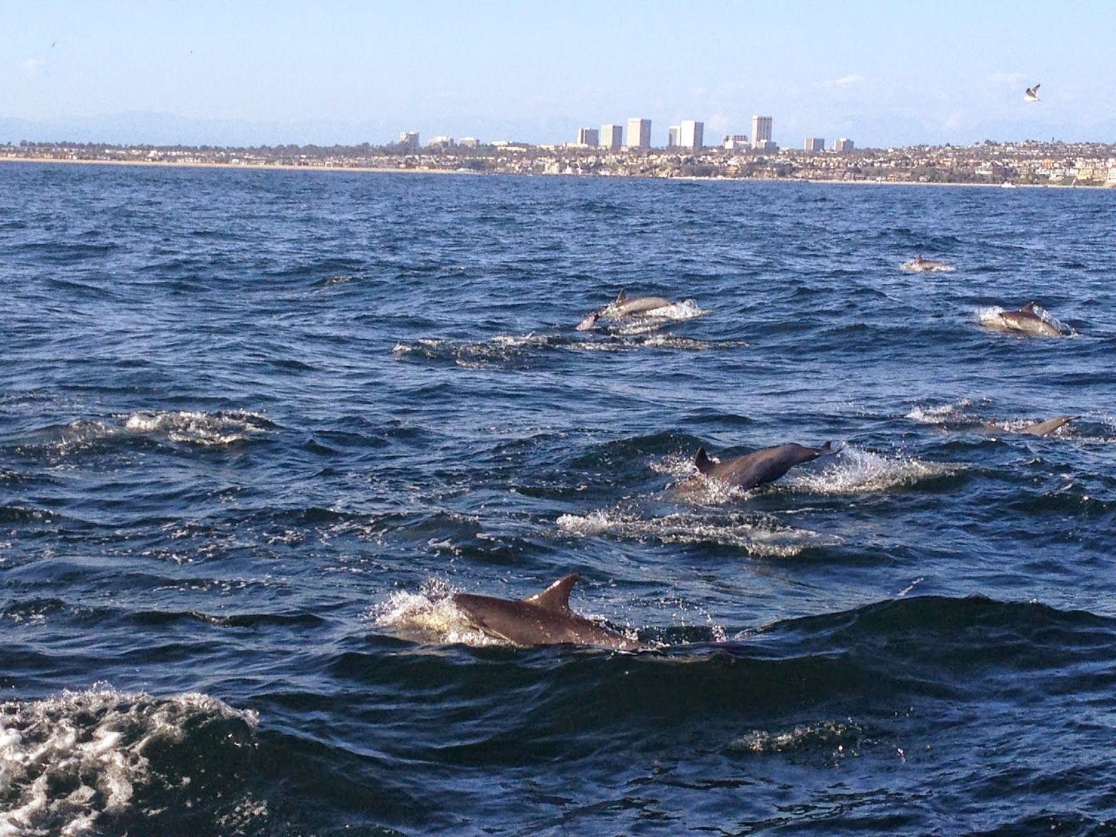 Whale Watching in Newport Beach #NewportBeach #Ca #dolphins