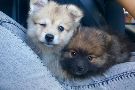 Litter Of 4 Pomeranian Puppies For Sale In Las Vegas Nv Adn