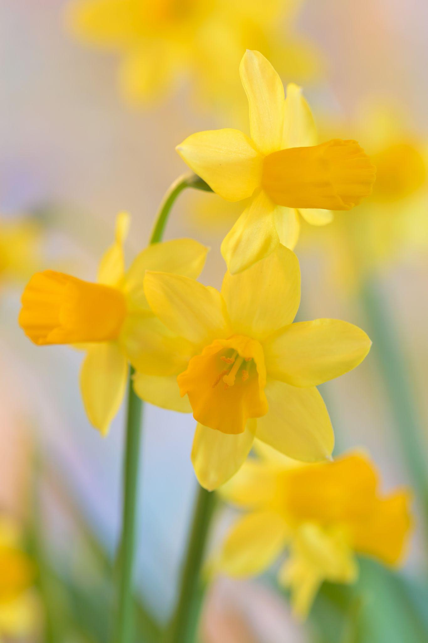Joyful Spring Daffodils Joyful And Spring