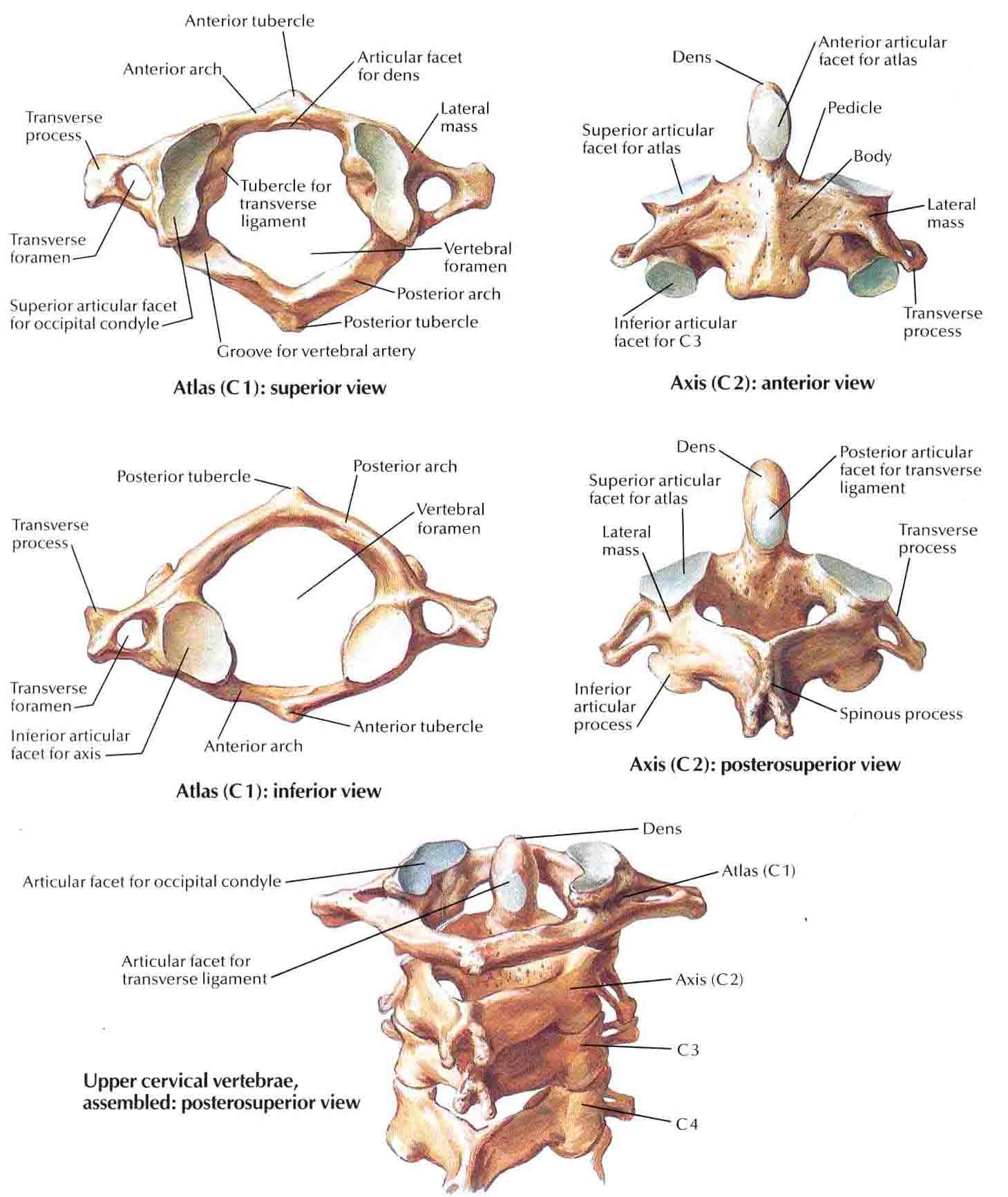 cervicales hautes atlas axis | Bodies | Pinterest