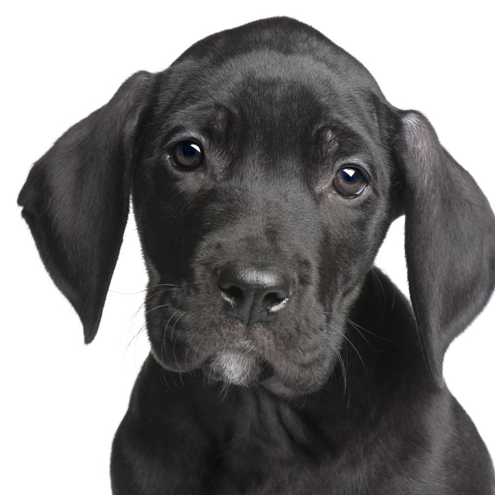 Great Dane Puppy! http://www.localpuppybreeders.com/great-dane-dog-breed-information/