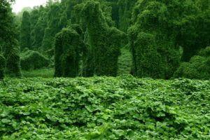 Die 5 am schnellsten wachsenden Pflanzen der Welt #schnellwachsendepflanzen Schnell Wachsende Pflanze Kudzu #schnellwachsendepflanzen Die 5 am schnellsten wachsenden Pflanzen der Welt #schnellwachsendepflanzen Schnell Wachsende Pflanze Kudzu #schnellwachsendepflanzen Die 5 am schnellsten wachsenden Pflanzen der Welt #schnellwachsendepflanzen Schnell Wachsende Pflanze Kudzu #schnellwachsendepflanzen Die 5 am schnellsten wachsenden Pflanzen der Welt #schnellwachsendepflanzen Schnell Wachsende Pfla #schnellwachsendepflanzen