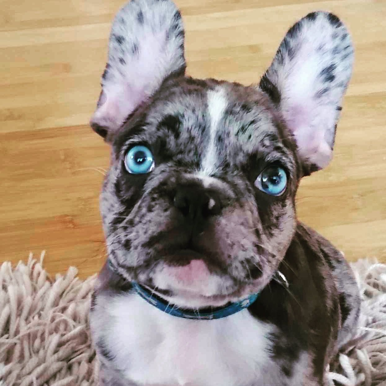 ig- @frenchiedevotion merle frenchie puppy - merle french