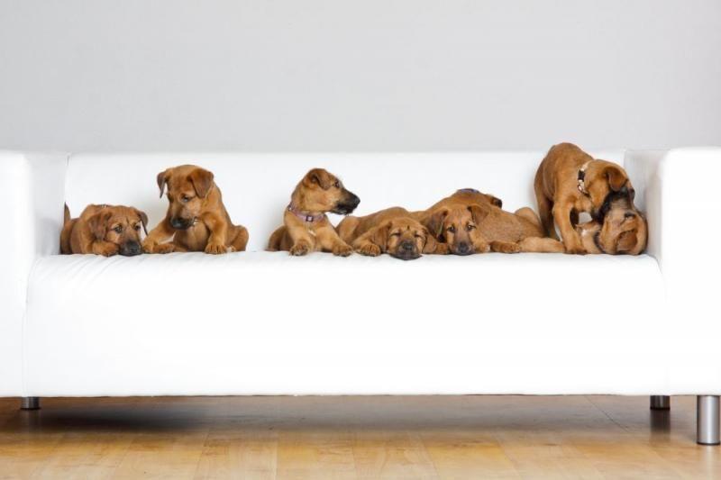 Petra Franz Zuchter Im Vdh Irischer Terrier Terrier Hund