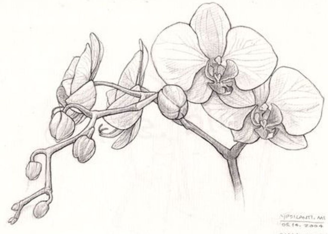Orchid Leg Not My Art Orchid Drawing Flower Drawing Flower Sketches