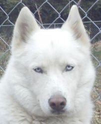 Adopt Kacie On Siberian Husky Dog White Husky Puppy Dog Eyes