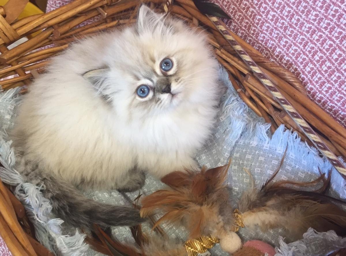 Beautiful ragdoll kittens registered in hoobly