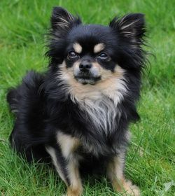Black and tan long haired chihuahua Chihuahua, Chihuahua