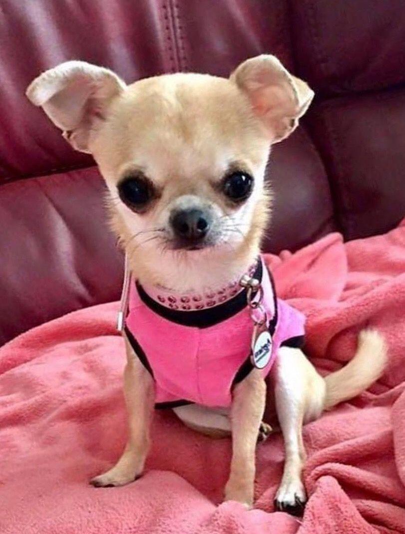 Chihuahua Dog Chiwawa Dog Information Baby Chihuahua Cute