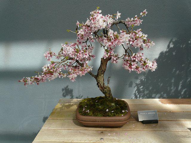 Bonsai Cherry Tree Bonsai Cherry Tree Bonsai Cherry Bonsai
