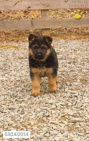 German Shepherd Puppy For Sale In Pennsylvania German Shepherd