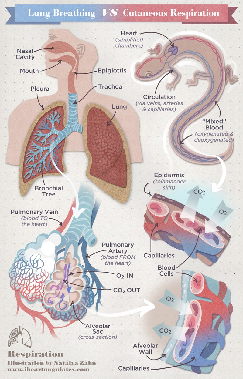 Chart Of Respiration Human Vs Lungless Salamander Alveoli