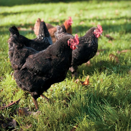 The Best Backyard Chicken Breeds for Kids - Homesteading and Livestock -  MOTHER EARTH NEWS - The Best Backyard Chicken Breeds For Kids - Homesteading And