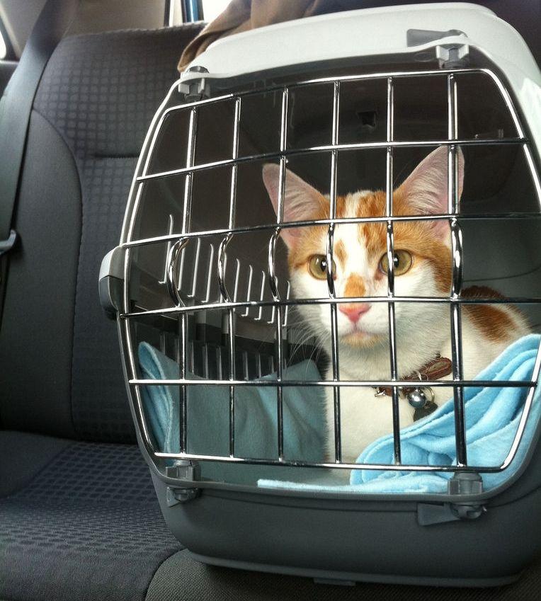 6 Pasos Para Viajar Con Gatos Sin Estres Eroski Consumer