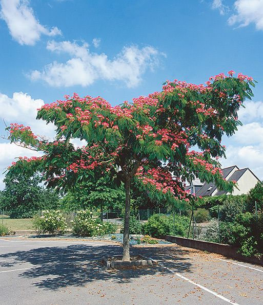 Albizia Ombrella 1a Qualitat Kaufen Baldur Garten Seidenbaum Pflanzen Garten