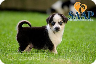 Newport Ky Corgi Mix Meet Scorpion A Puppy For Adoption Http